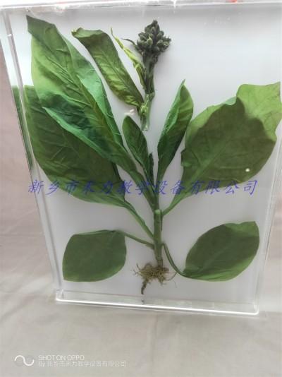 烟草保色浸制标本有机玻璃瓶装定制