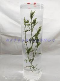 水生植物保色浸制标本菹草标本