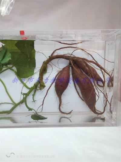 甘薯浸制标本农作物浸泡展示标本植物标本定制厂家
