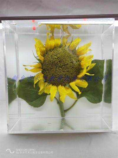 向日葵保色浸制标本油料作物标本