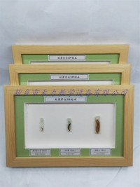 农业害虫标本 蛀果害虫标本展示 昆虫标本销售