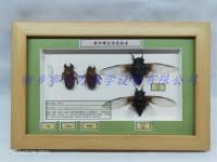 昆虫生活史标本厂家销售 黑蚱蝉生活史标本教学展示标本