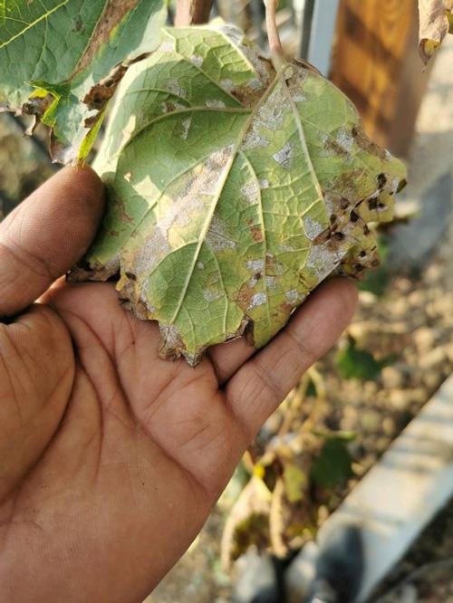 葡萄叶发现了白粉病