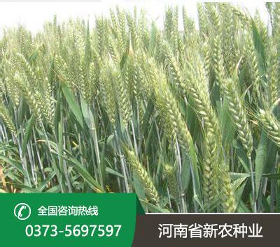 小麦种子厂家