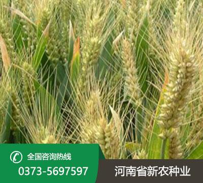 豫农035小麦种子