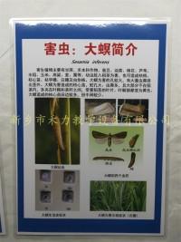 水稻害虫挂图大螟简介农作物害虫挂图展示