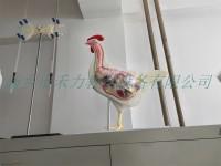 母鸡解剖模型公鸡解剖模型