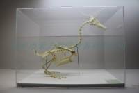 鸭骨骼标本骨骼教学展示标本