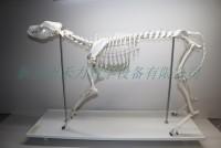 大型犬骨骼标本狗骨骼标本