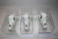 狗头骨教学标本动物骨骼标本