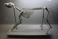 宠物狗骨骼标本畜牧兽医标本