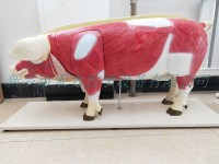 猪解剖模型实验教学展示模型畜牧兽医模型