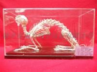 兔骨骼标本实验教学标本