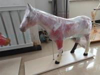 马解剖模型畜牧兽医解剖模型