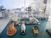 家禽家畜剥制标本公鸡母鸡标本