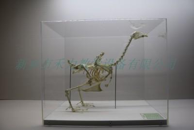 鸡骨骼标本家禽骨骼标本