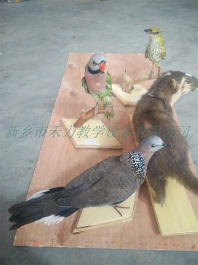 鸟类剥制标本皮毛标本