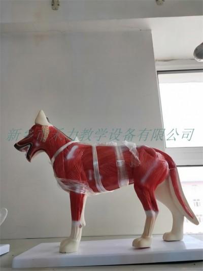 狗解剖实验模型犬解剖模型标本