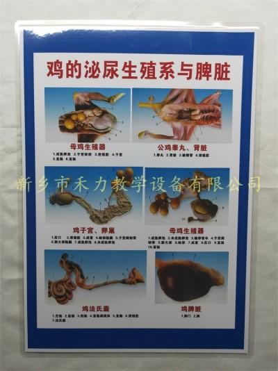 鸡的泌尿生殖系教学挂图