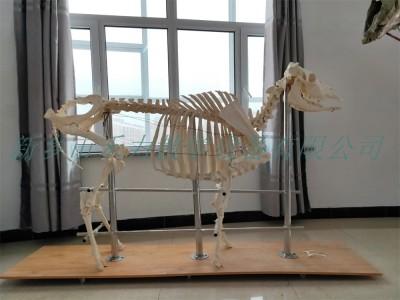 牛骨骼标本畜牧标本