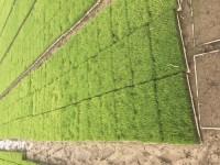水稻育苗基质成品