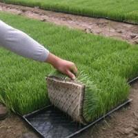 水稻育苗基质机器化育苗