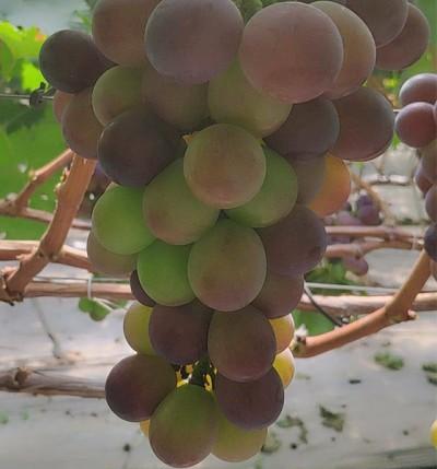 红富士葡萄价格