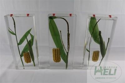 植物保色浸制标本玉米浸制标本农作物浸制教学标本