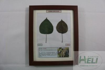 植物病害原色标本梨树锈病园林果树病害教学标本