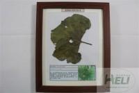 植物病害原色标本南瓜花叶病毒病蔬菜病害教学标本