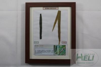 植物病害原色标本小麦白粉病农作物病害教学标本