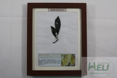 植物病害原色标本李子穿孔病园林果树病害教学标本