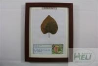 植物病害原色标本紫荆叶枯病园林花卉病害教学标本