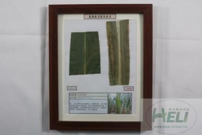 植物病害原色标本玉米大斑病农作物病害教学标本