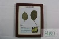 植物病害原色标本苹果锈病毒病果树病害教学标本
