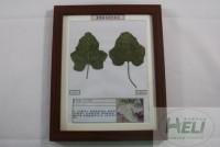 植物病害原色标本甜瓜白粉病果蔬病害教学标本