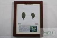 植物病害原色标本大叶黄杨白粉病园林树木病害教学标本