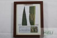 植物病害原色标本玉米炭疽病农作物病害教学标本