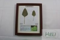 植物病害原色标本苋菜白锈病蔬菜病害教学标本