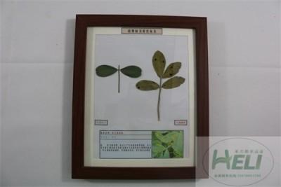 植物病害原色标本花生褐斑病农作物病害教学标本