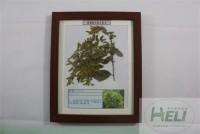 植物病害原色标本大枣丛枝病园林果树病害教学标本