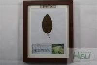 植物病害原色标本山楂锈病果树病害教学标本