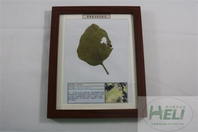植物病害原色标本茄黄萎病蔬菜病害教学标本