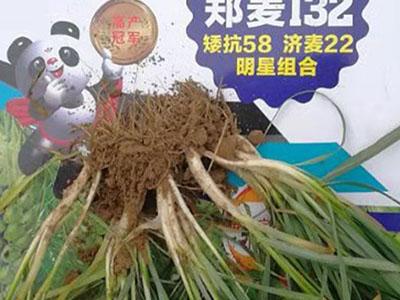 抗旱小麥大田用種