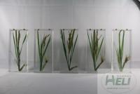 植物保色浸制标本水稻标本农作物浸制教学标本