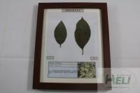 植物病害原色标本柿树角斑病果树病害教学标本