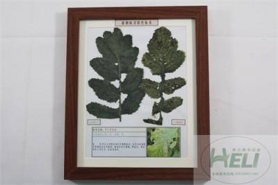 植物病害原色标本萝卜黑斑病蔬菜病害教学标本