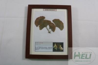 植物病害原色标本银杏叶枯病园林树木病害教学标本