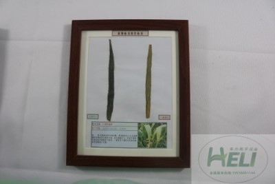 植物病害原色标本小麦叶枯病农作物病害教学标本