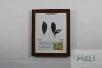 植物病害原色标本李子缩叶病园林果树病害教学标本